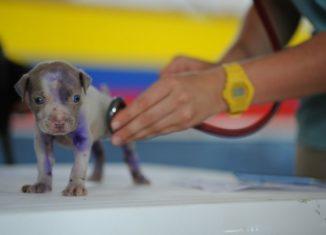 Pui de câine la veterinar