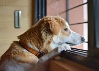 caine care priveste trist pe geam