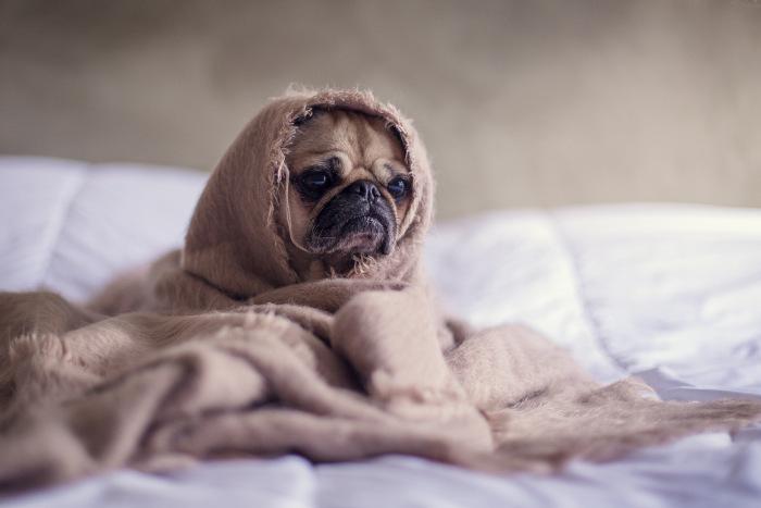 caine mops caresta in pat invelit cu o patura